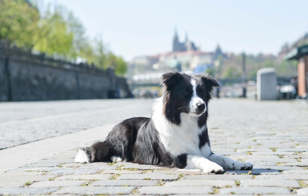 Prague Expo Dog CACIB 2019